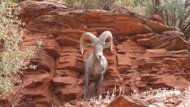 bighorn sheep, bright angel trail, grand canyon 32