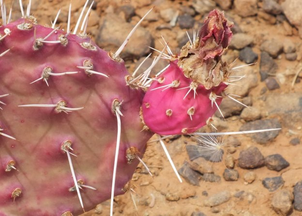 cactus flower, plateau point trail 12