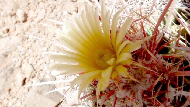 cactus flowers on plateau point trail 7