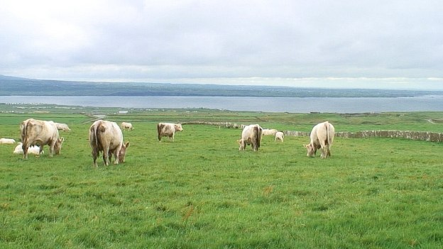 Cows in pastures at the Cliffs of Moher in County Clare, Ireland