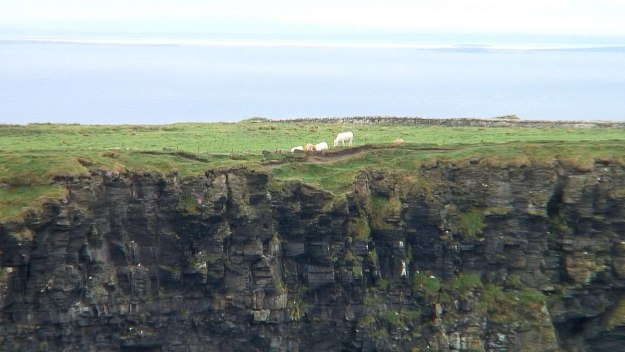 cows in field cliff of moher