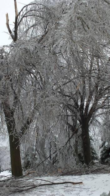 ice damaged birch tree limbs