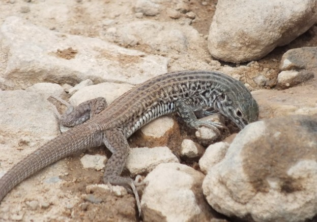 northern whiptail lizard - grand canyon 4