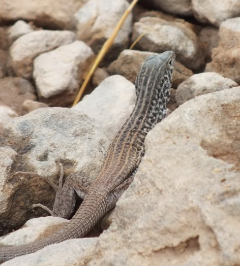 northern whiptail lizard - grand canyon 9