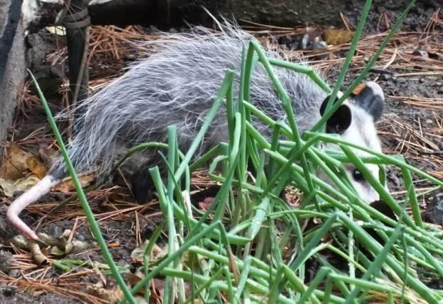 opossum toronto 10