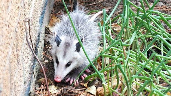 opossum toronto 14