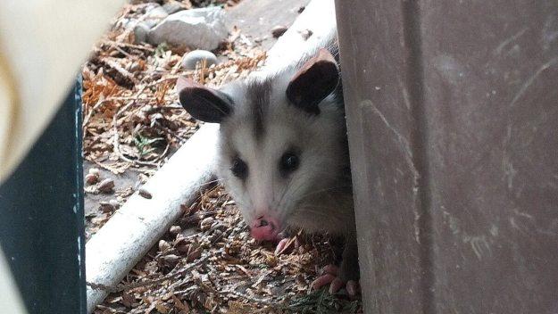opossum toronto 5