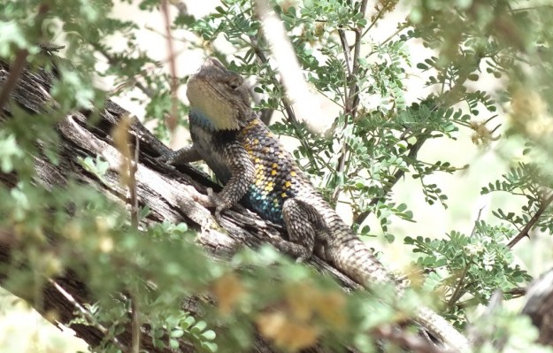 yellow-backed spiny lizard 16