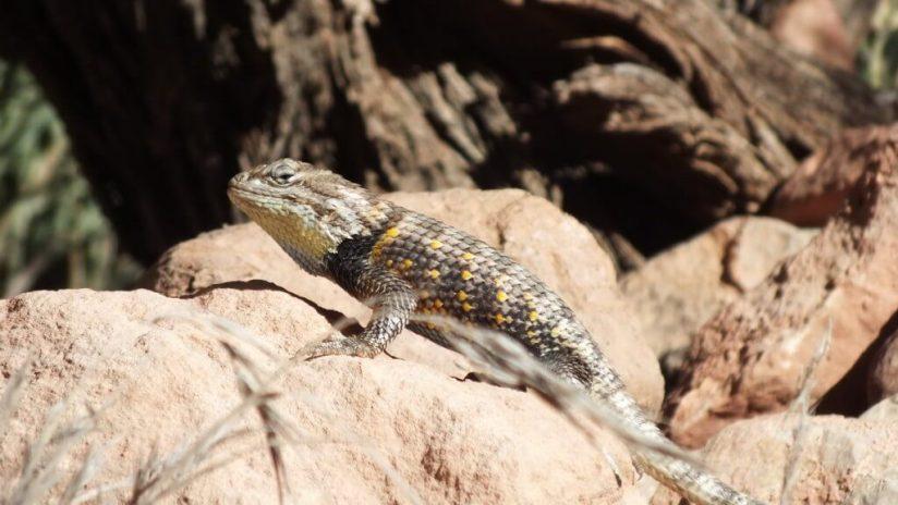 yellow-backed spiny lizard 4