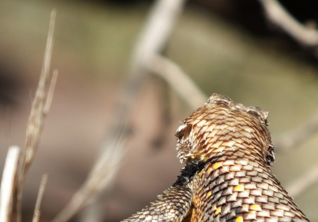 yellow-backed spiny lizard 6