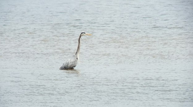Great Blue Heron - fishing at -- Cootes Paradise Swamp - Burlington - Ontario