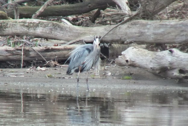 Great Blue Heron - gives me a look -- Cootes Paradise Swamp - Burlington - Ontario