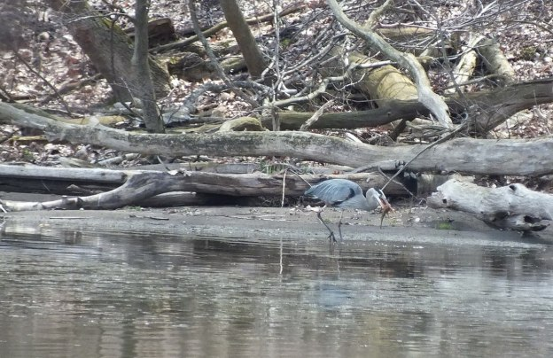 Great Blue Heron - on shore with fish -- Cootes Paradise Swamp - Burlington - Ontario