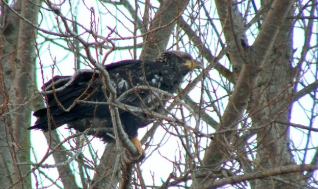 Immature Bald Eagle - Boundary Bay - BC - 1