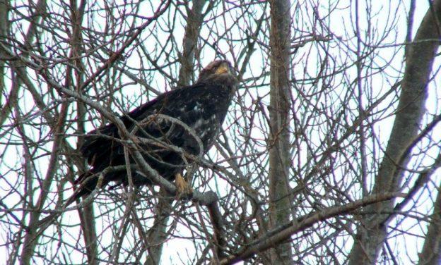 Immature Bald Eagle - Boundary Bay - BC - 3