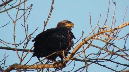 Immature Bald Eagle - Boundary Bay - BC -  4