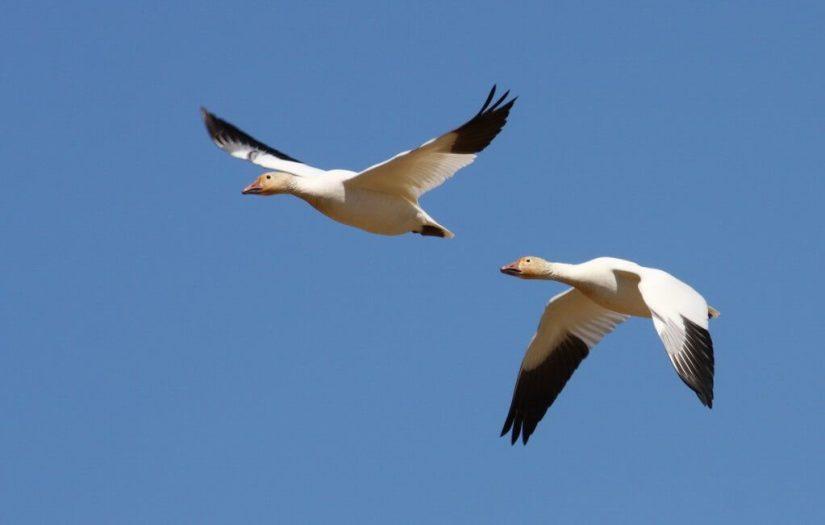 Lesser Snow Geese 1