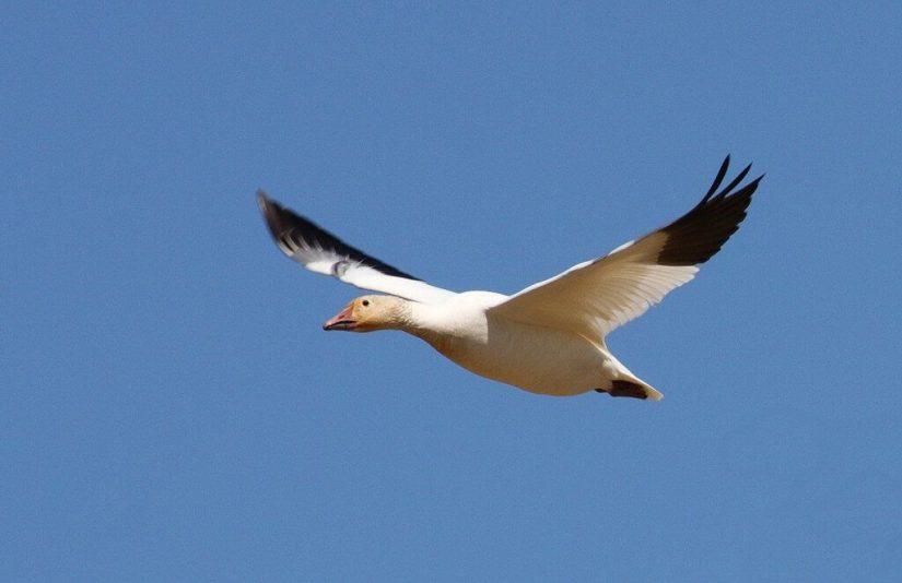 Lesser Snow Geese 2