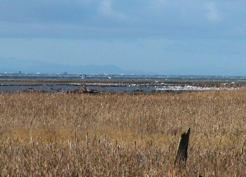 Lesser Snow Geese along shoreline - reifel migratory bird sanctuary