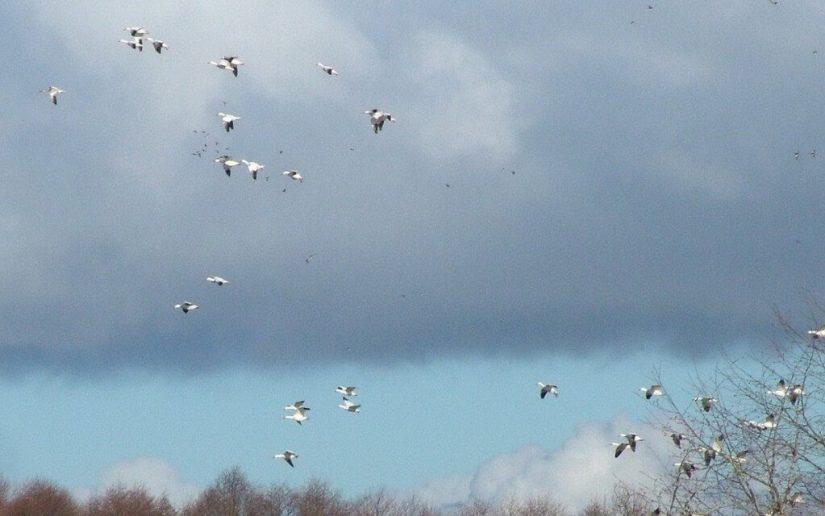 Lesser Snow Geese fly above trees 2 - reifel migratory bird sanctuary