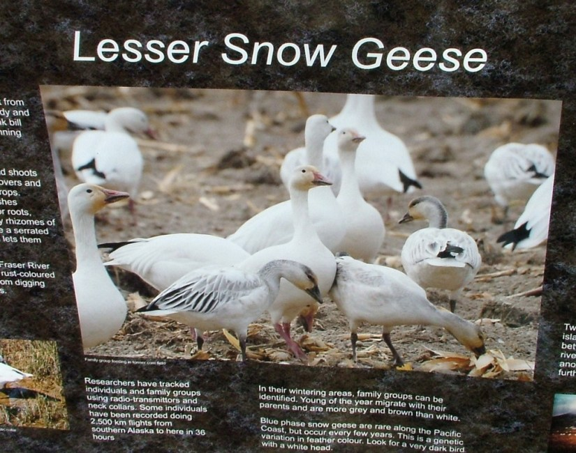 Lesser Snow Geese sign - reifel migratory bird sanctuary