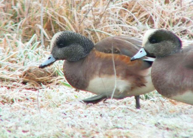 american wigeon ducks - comox - bc 9