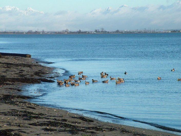american wigeons at boundary bay - bc 7