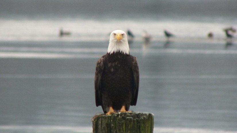 bald eagle on dock post - comox - british columbia 8