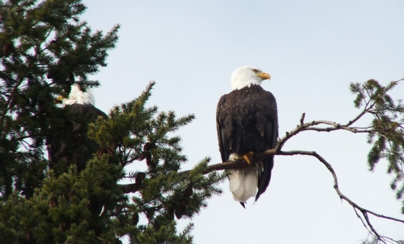 Bald eagle sitting in a tree at Deep Bay, Vancouver Island, British Columbia