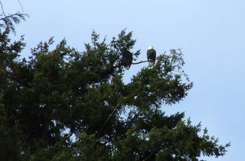 Bald eagles sitting in a tree at Deep Bay, Vancouver Island, British Columbia