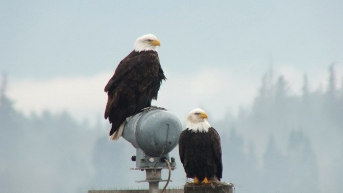 bald eagles on navigational beacon - comox - british columbia 4