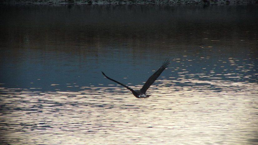 bald junior bald eagle in flight - comox - british columbia 1