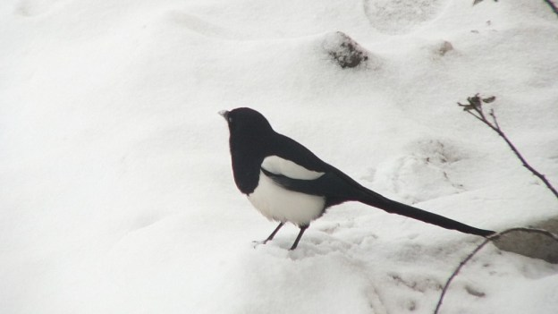black-billed magpie on snow - kamloops - british columbia