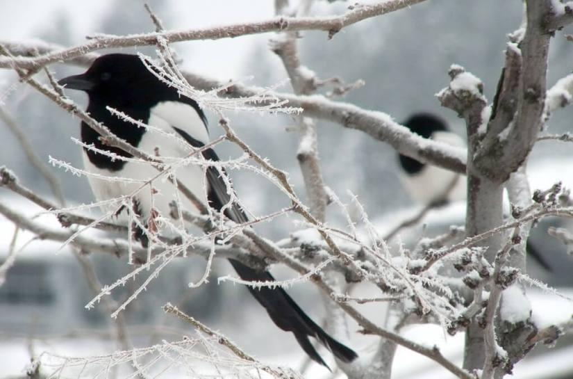 black-billed magpie sitting in tree - british columbia 2