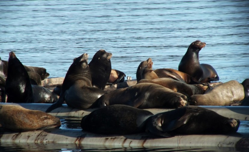 California Sea lions cluster on a float in Fanny Bay on Vancouver Island in B.C., Canada