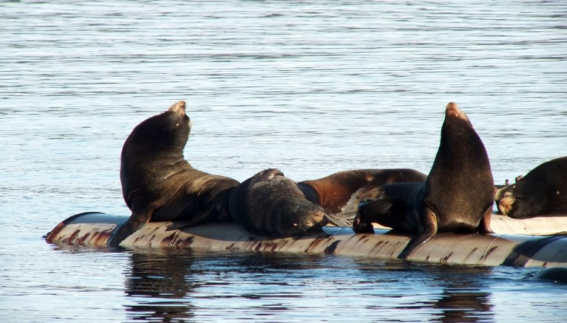 California Sea lions on a float in Fanny Bay on Vancouver Island in B.C., Canada