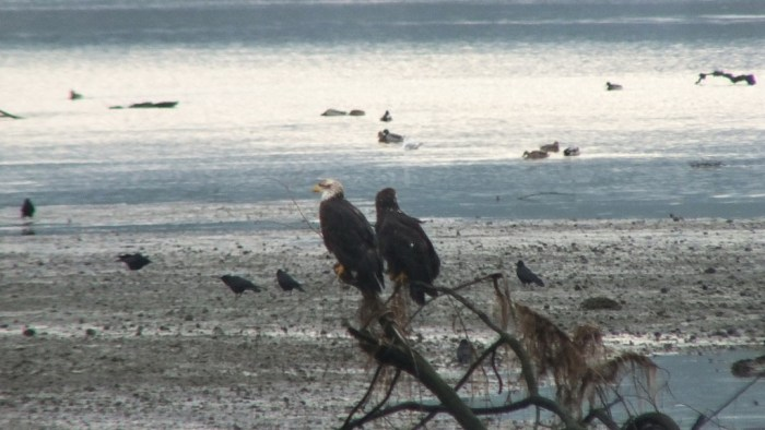 junior bald eagles on tree - comox - british columbia 1