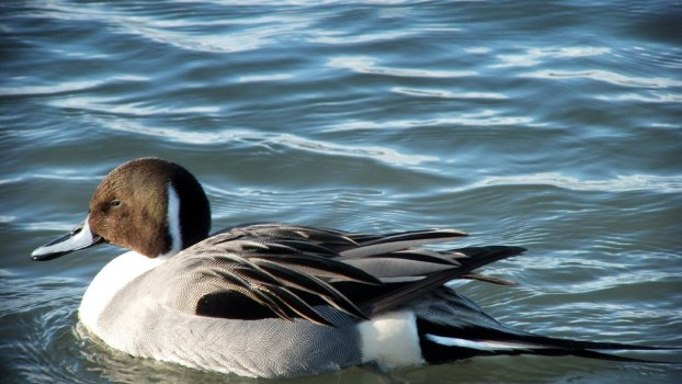 Northern pintail duck at Reifel Migratory Bird Sanctuary in Delta, BC, Canada.