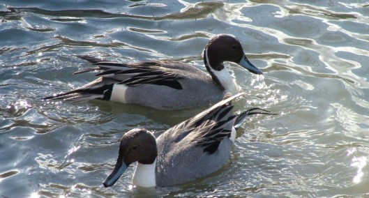 northern pintail ducks - reifel migratory sanctuary 11