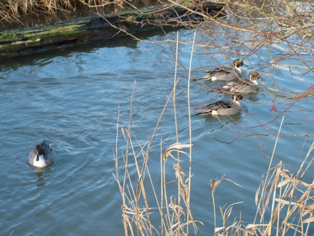 Northern pintail ducks at Reifel Migratory Bird Sanctuary in Delta, BC, Canada.