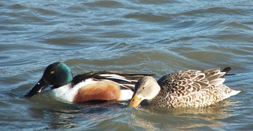 Northern shovelers ducks at Reifel Migratory Bird Sanctuary in Delta, BC, Canada.