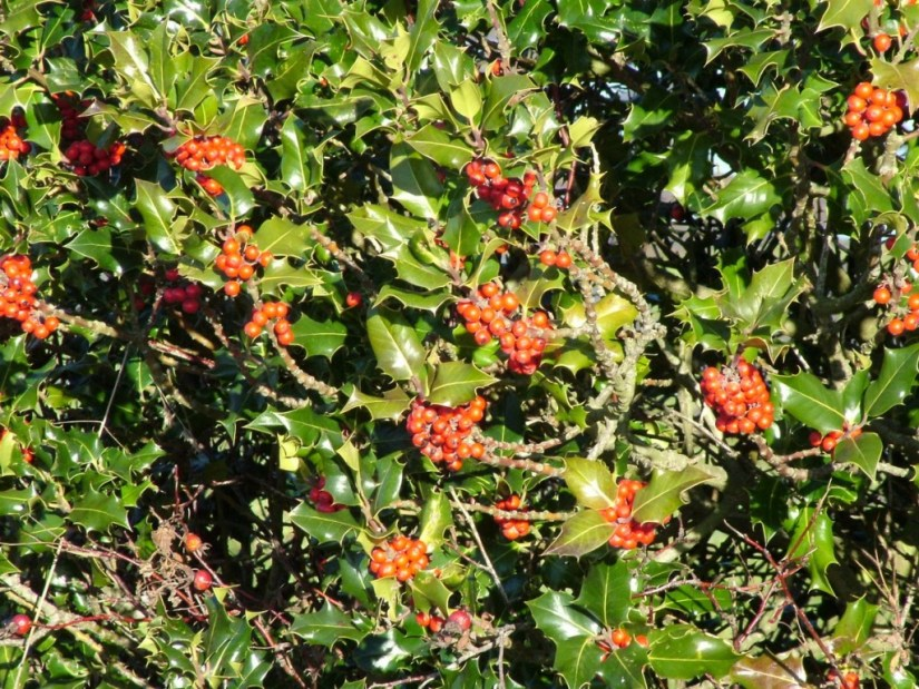 red holly growing in delta - bc - 1