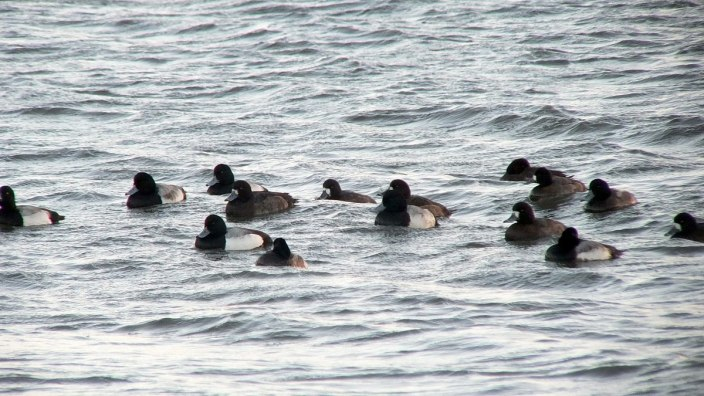 ring-necked ducks at boundary bay - BC - 2