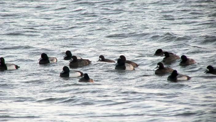 ring-necked ducks at boundary bay - BC - 2
