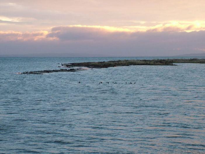 ring-necked ducks at boundary bay - BC - 3