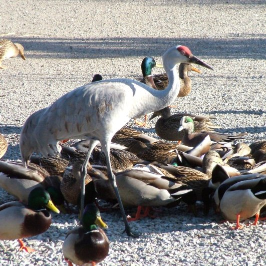 An image of a Sandhill crane walking among ducks at the Reifel Migratory Bird Sanctuary in Delta, British Columbia, Canada.