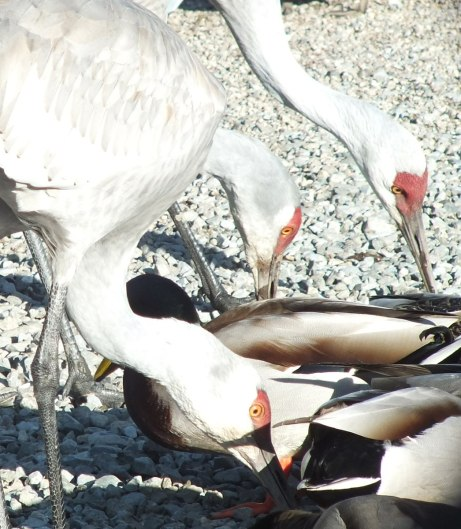 An image of Sandhill cranes eating among a group of ducks at the Reifel Migratory Bird Sanctuary in Delta, British Columbia, Canada.