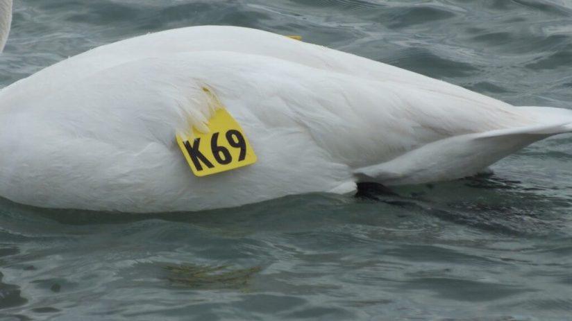 trumpeter swan K69 - bluffers park