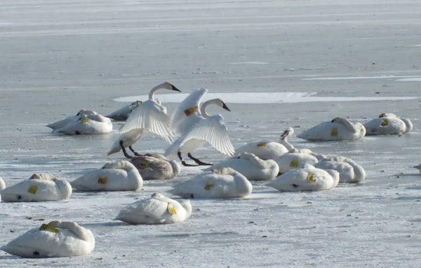 trumpeter swan holds up wings on ice - la salle park - burlington - ontario 3