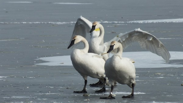 trumpeter swan holds up wings on ice - la salle park - burlington - ontario
